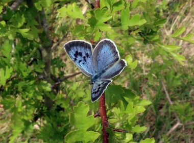 blue butterfly in the UK