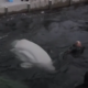 Belugas Little White and Little Grey