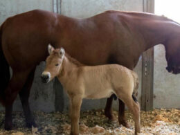 First Cloned Endangered Przewalski's Horse