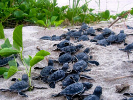 endangered baby sea turtles