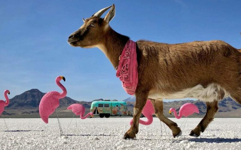 Frankie, the Adventurous Goat Has Travelled More than 60,000 Miles Across America