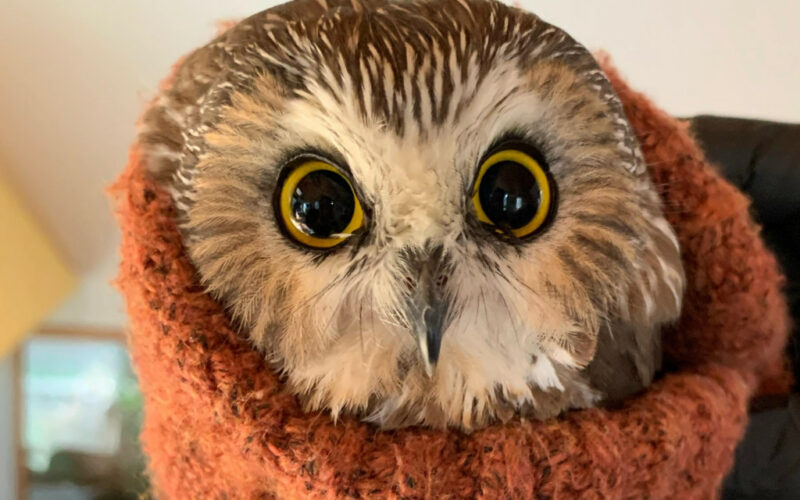 Teeny Owl Found After Being Stowed Away in Rockefeller Christmas Tree