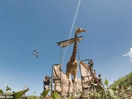 After a Serious Flood, Giraffes were Saved Using Community-Built Custom Rafts