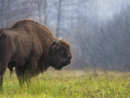 European Bison Conservation Success is Proof that Ambitious Biodiversity Targets Really Work