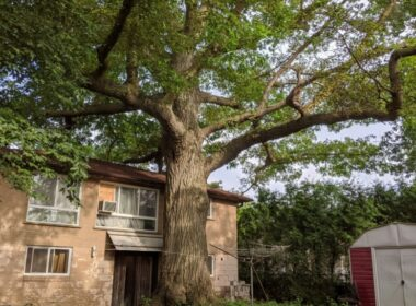 Last-Minute City Council Decision Saves Toronto's Oldest Tree