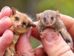 Tiny Pygmy Possums Seen on Kangaroo Island After Worries They Have Been Wiped Out From Bushfires
