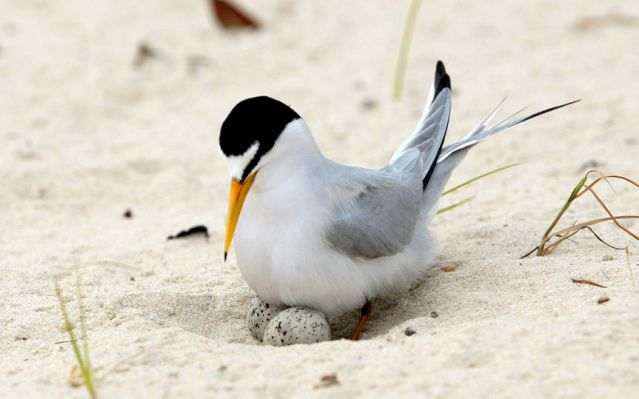 Interior least tern