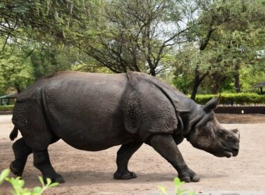 Endangered rhinos on Nepal