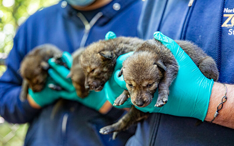 endangered red wolf pups