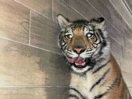missing tiger in Houston