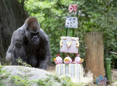 Oldest Living Gorilla in the World Clocks 60 Years